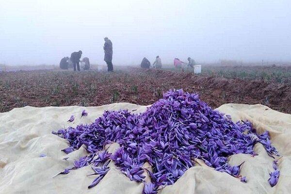 صادرات ۳۷ تن زعفران/۹۴ درصد تولید دنیا در ایران است