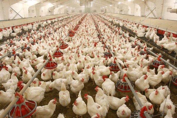 صادرات مرغ به ۱۳ میلیون دلار رسید