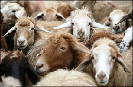 ترخیص گوسفندان پرحاشیه با وساطت وزیر!