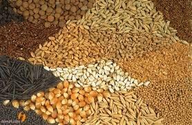 ۱۲۰۰ تن بذر ذرت در گمرکات مانده است/ بذرها خوراک موش شد