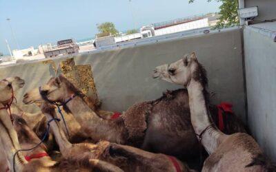 مسافران پرحاشیه گمرک؛ این بار شتران قطری!